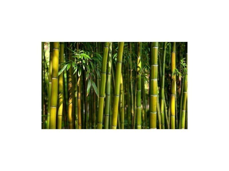 Papier peint - forêt de bambous asiatique